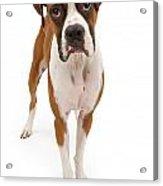 Boxer Dog Isolated On White Acrylic Print