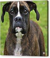 Boxer Dog Acrylic Print