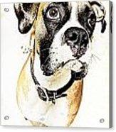 Boxer Dog Poster Acrylic Print
