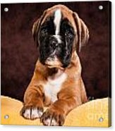Boxer Dog Puppy Acrylic Print by Doreen Zorn