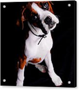 Boxer Pup Acrylic Print by Jt PhotoDesign