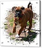 Boxer Puppy 14-1 Acrylic Print