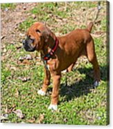Boxer Puppy 2 Acrylic Print by Maria Urso