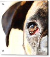 Boxer's Eye Acrylic Print