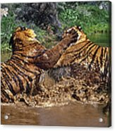 Boxing Bengal Tigers Wildlife Rescue Acrylic Print