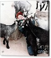 Boy Surrounded By Hungry Goats Acrylic Print