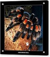 Brachypelma Smithi - Redknee Tarantula Acrylic Print