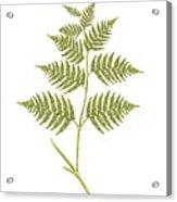Bracken (pteridium Aquilinum), Artwork Acrylic Print