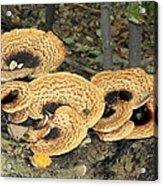 Bracket Fungi Acrylic Print