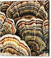Bracket Fungus 1 Acrylic Print