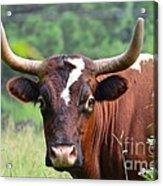 Braford Bull Acrylic Print