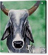 Brahma Bull Acrylic Print