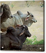 Brahman Cattle Acrylic Print by Peggy Collins