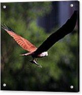 Brahminy Kite With Catch  Acrylic Print