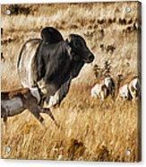 Brahma Bull Meets The Pronghorn Acrylic Print