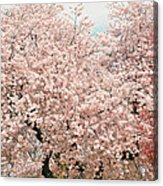 Branch Brook Cherry Blossoms Iv Acrylic Print