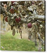 Branch Of An Apple Tree Acrylic Print by Juli Scalzi