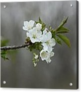Branch Of Spring Acrylic Print