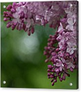 Branch With Spring Lilac Flowers Acrylic Print