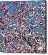 Branches And Blossoms Acrylic Print