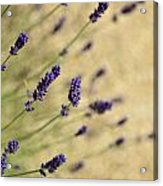 Branches Of Flowering Lavender Acrylic Print