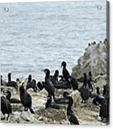 Brandt's Cormorant Colony At Point Lobos State Natural Reserve Acrylic Print