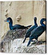 Brandts Cormorant Nesting On Cliff Acrylic Print