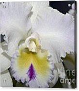 Brassocattleya Orchid 5292 Acrylic Print
