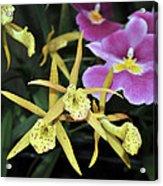 Brassolaelia Yellow Bird And Pink Miltoniopsis  Acrylic Print