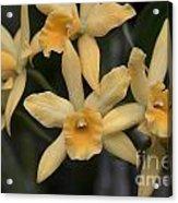 Brassolaeliocattelya Golden Angel 'debbie'  8501 Acrylic Print