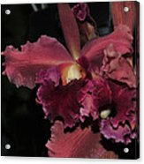 Brassolaeliocattleya Helen Huntington  Chevy Chase Acrylic Print
