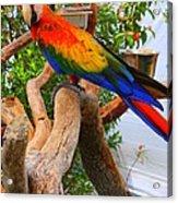 Brazilian Parrot Acrylic Print