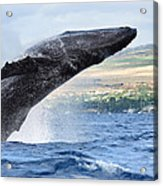 Breaching Humpback Whale Acrylic Print