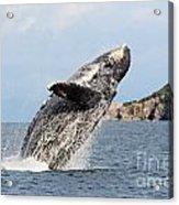 Breaching Whale Acrylic Print