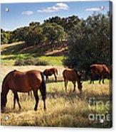 Breed Of Horses Acrylic Print