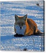 Brer Fox Acrylic Print