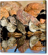 Brewers Sparrows At Waterhole Acrylic Print