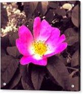 Briar Rose  Acrylic Print