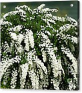 Bridal Wreath Spirea - White Flowers - Florist Acrylic Print