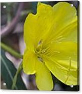 Bridges Evening Primrose Acrylic Print