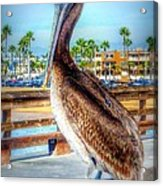 Brief Pelican Encounter  Acrylic Print