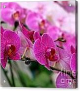 Bright And Purple Butterfly Orchids Acrylic Print