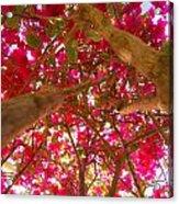 Bright Bougainvillea Acrylic Print