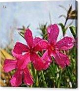 Bright Phlox Blooms Acrylic Print