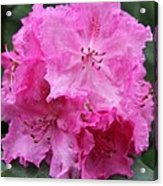 Bright Pink Blossoms Acrylic Print