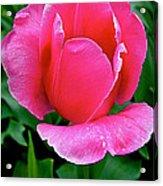Bright Pink Tulip In Kuekenhof Flower Park-netherlands Acrylic Print