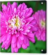 Bright Pink Zinnia Flowers Acrylic Print