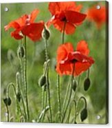 Bright Poppies 1 Acrylic Print
