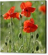 Bright Poppies 2 Acrylic Print