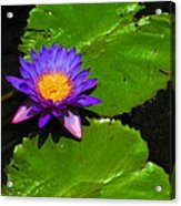Bright Purple Water Lilly Acrylic Print